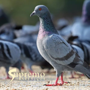 pombos_supremo