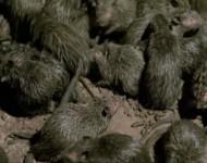 Roedores – Ratos, Ratazanas e Camundongos